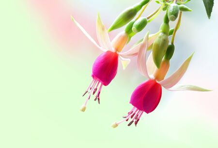 Two fuchsia flowers isolated on rainbow background photo