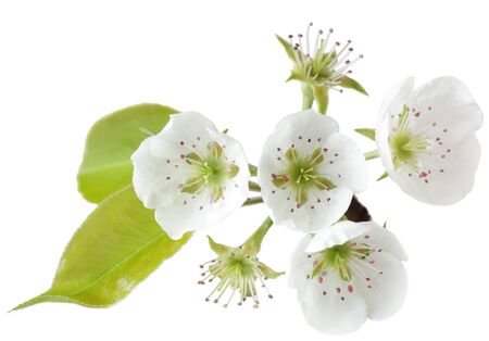 Fresh pear blossom isolated on white background photo