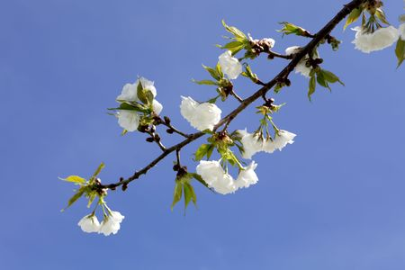 White cherry blossom isolated on blue sky photo
