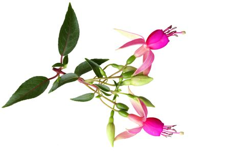 Branch of pink fuchsia flowers isolated on white photo