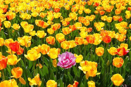 Single pink tulip flower on the field of yellow and red  photo