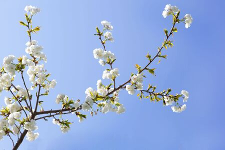 White cherry flower branch over blue sky Stock Photo - 4876041