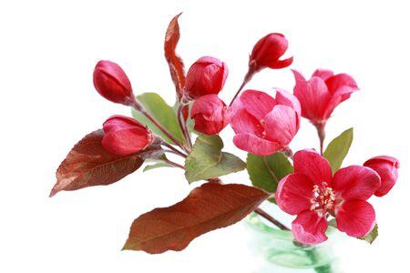 fleur de cerisier: Direction g�n�rale de la fleur de cerisier rouge isol� sur blanc
