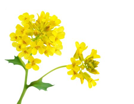 Rape seed flower branch isolated on white