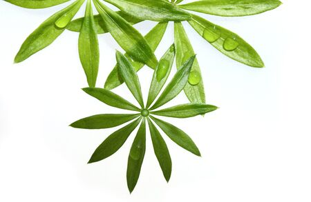 woodruff: Sweet woodruff foliage in lance-shape isolated Stock Photo