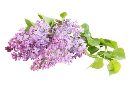흰색 배경에 고립 된 신선한 라일락 꽃