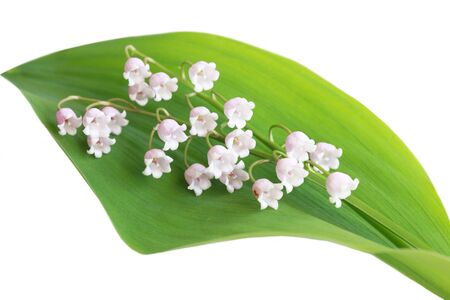 may lily: Pink lily of the valley flower on its leaf