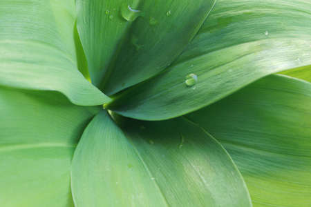 may lily: Close up of May lily Leaves for nautural green background