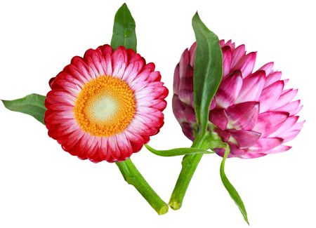 Two sides of a helichrysum flower isolated on white Stock Photo - 4994823