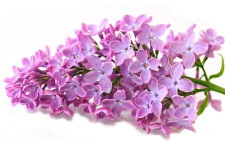 Spring lilac flower isolated on white background Stock Photo - 5014888