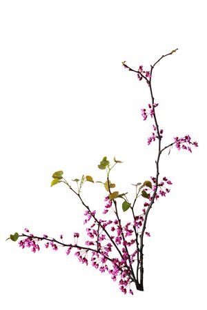 redbud: Branches of redbud flowers isolated on white