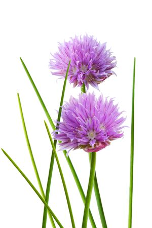 chive: Chive flower and leaf isolated on whtie background Stock Photo