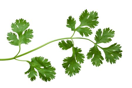 Branch of singlle cilantro coriander isolated on white