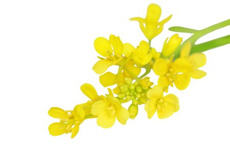 Macro of rapeseed flower isolated on white photo