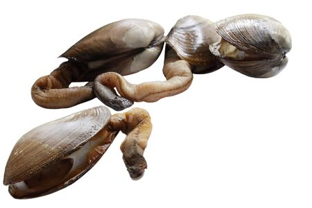 Group of elephant trunk geoduck clams pacific gooey isolated on white 版權商用圖片