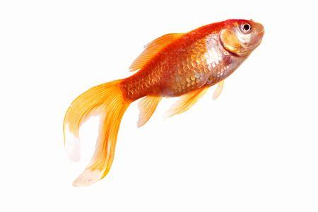 single gold fish isolated on white background Stock Photo - 5317944