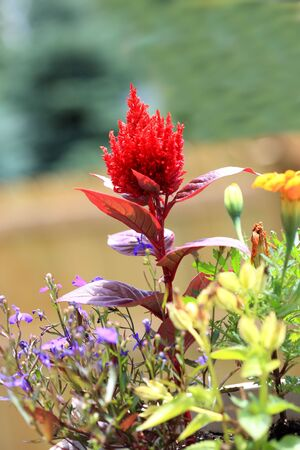 Red Celosia plumosa flower standing out under sunlight Stock Photo
