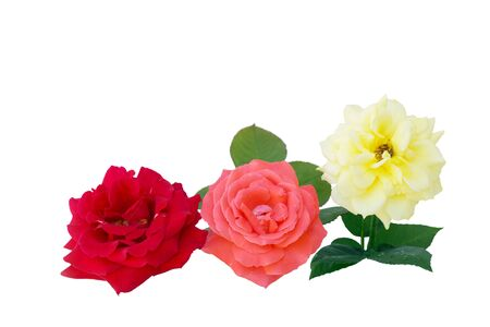 Three roses in different colors isolated on white Stock Photo - 5317957