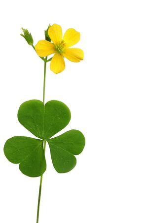 goodluck: Shamrock leaf and flower isolated on white Stock Photo