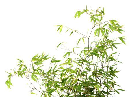 textfield: Bamboo bush isolated on white background Stock Photo
