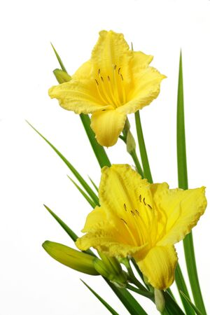 Bundle of yellow daylily flower isolated on white Stock Photo - 5317941