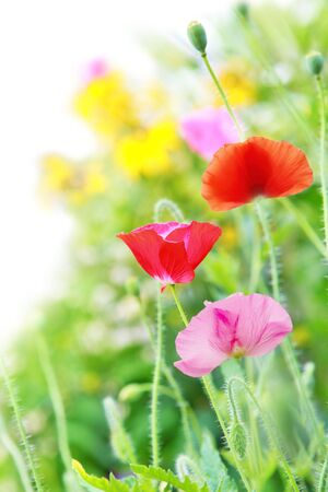 Vertical Colorfull Poppy flowers in the garden photo