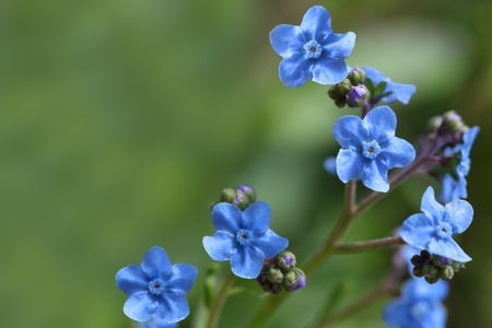 not to forget: Branch of forget me not flower over natural green background Stock Photo