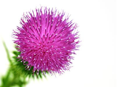 vulgare: Closeup of a Spear Thistle Cirsium vulgare over white