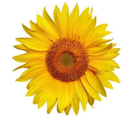 Single sunflower head isolated on white background