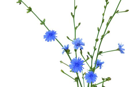 Chicory Cichorium Intybus flowers on branch isolated on white Stock Photo - 5391937