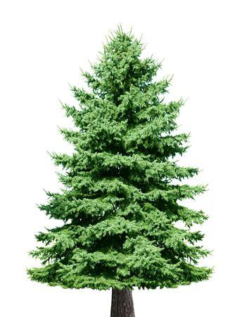Árbol de pino solo aislado sobre fondo blanco