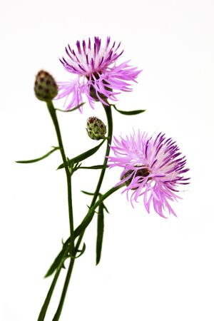centaurea: Cornflower Centaurea scabiosa flower plant isolated on white  Stock Photo