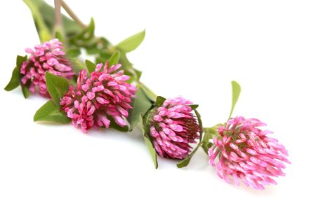 red clover:  Bundle of Red clover Trifolium Pratense flowers   Stock Photo