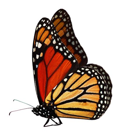 monarch butterfly: Single monarch butterfly isolated on white background