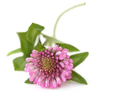 Pink clover flower isolated on white background