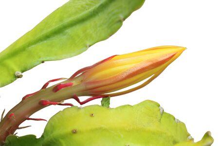 vegatation: Fresh Equiphyllum plant isolated on white background Stock Photo