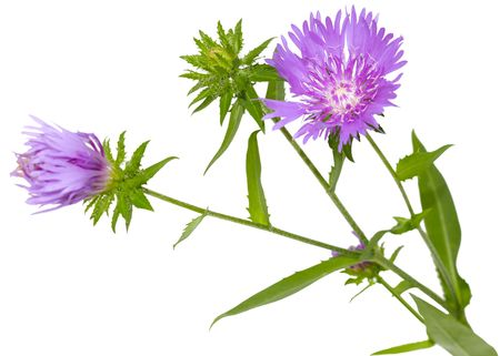 laevis: Stokes Aster Stokesia laevis flower branch isolated on white