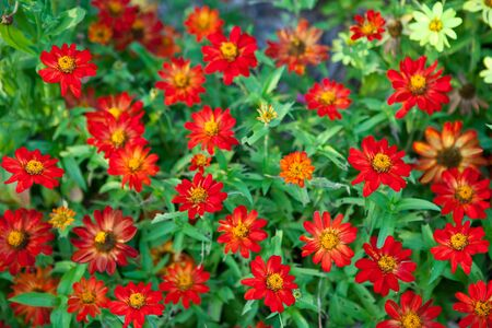 Red chrysanthemum flower for natural background photo