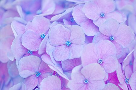 Close up of an hortensia flower for natural abstract background Zdjęcie Seryjne