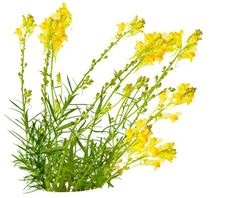 common snapdragon: Bundle of toadflax Linaria vulgaris wild flower isolated on white   Stock Photo