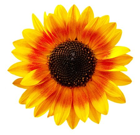 Bi color sunflower isolated on white background