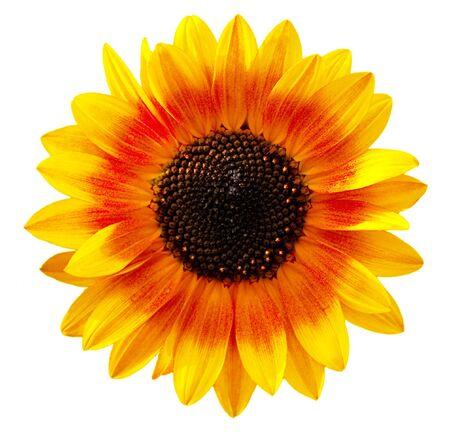 zonnebloem: Bi kleur zonnebloem geïsoleerd op witte achtergrond