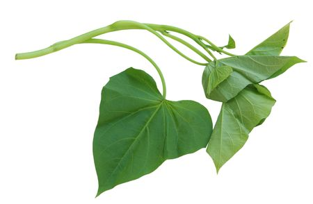 edible leaves: Single branch of sweet potato leaves Belacan Yam Leaf