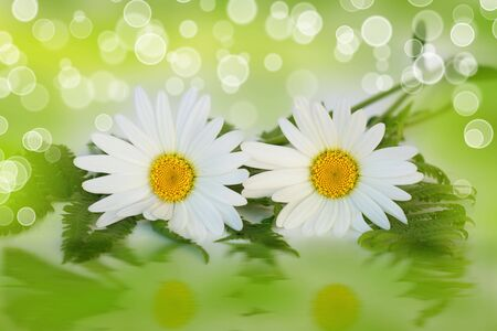 Two daisy flowers and fern on bokeh effect