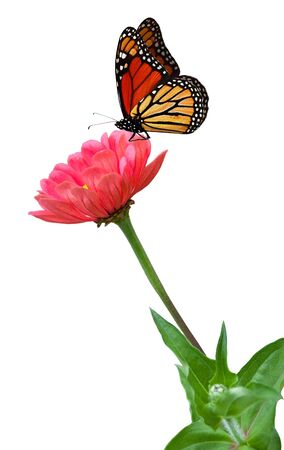 zinnia: Pink zinnias flower plant and monarch butterfly Stock Photo