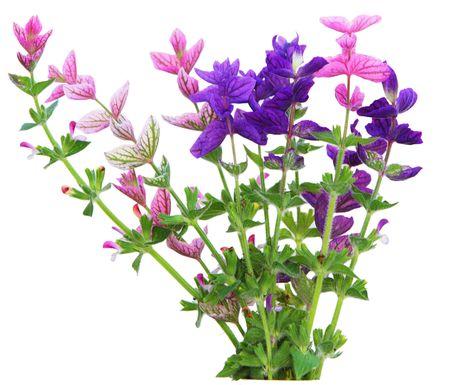 viridis: Salvia Viridis annual clary sage spikes flower