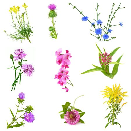 officinal: Set of wild flowers isolated on white background Stock Photo