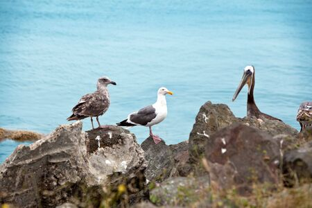 Brown pelican and seagull resting on the rock  Stock Photo - 5661923