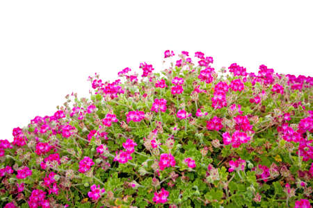 Pink Geraniums flowers isolated on white background photo