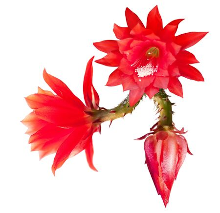 cereus: Fresh red epiphyllum  Stock Photo